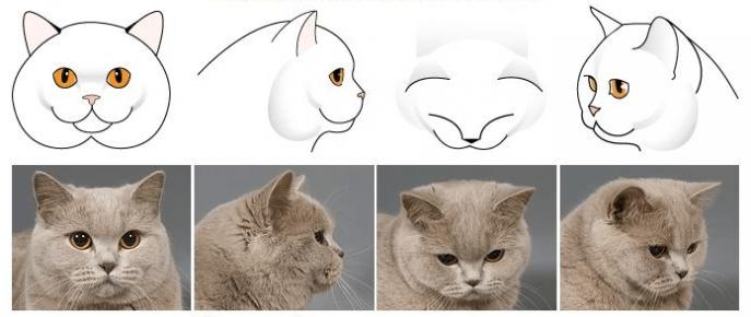 Форма головы британской кошки