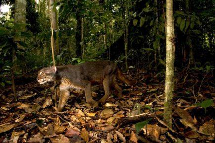 Калимантанская кошка в природе