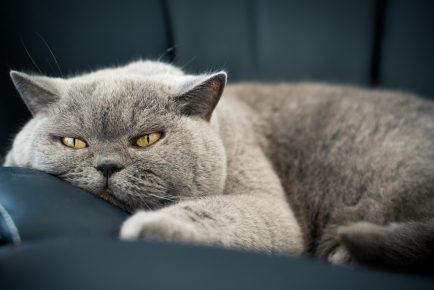 Британский кот на кожаном диване