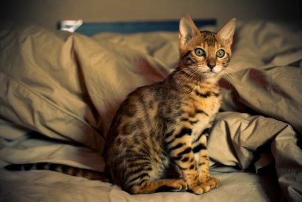 Бенгальский котёнок на постели