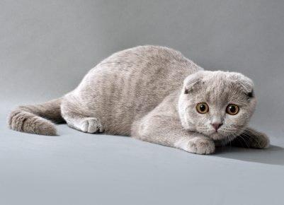 Шотландская кошка смотрит
