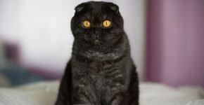 Чёрный шотландский вислоухий кот сидит