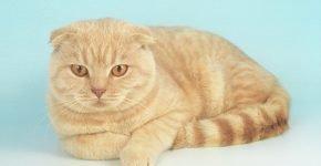 Шотландский вислоухий кот тиккированный