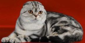 Шотландская вислоухая кошка мраморного окраса