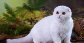 Белый шотландский кот