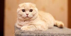 Кремовая шотландская вислоухая кошка