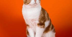 Шотландская вислоухая кошка окраса биколор