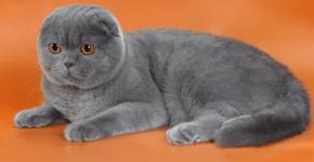 Шотландский вислоухий кот голубого окраса лежит