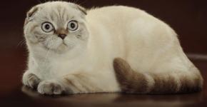 Шотландская вислоухая кошка колор-пойнт