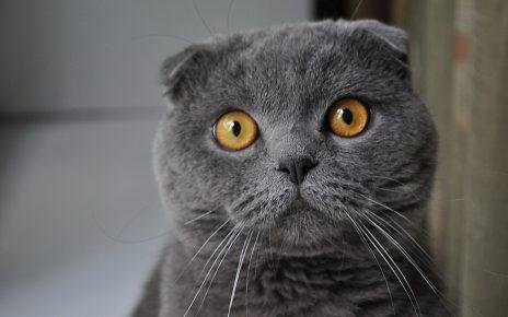 Скоттиш-фолд серый