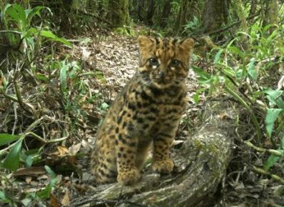 Детёныш мраморной кошки в природе