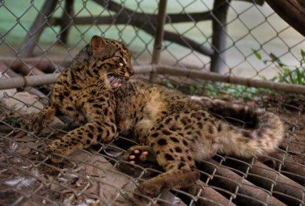 Мраморная кошка в зоопарке