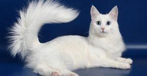 Белая ангорская кошка с пушистым хвостом