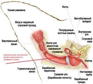 Схема строения кошачьего уха