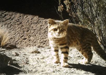 Кошка Жоффруа на природе