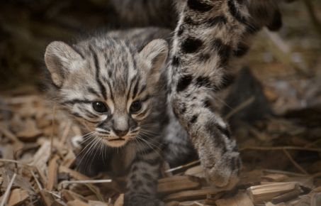 Котёнок Жоффруа