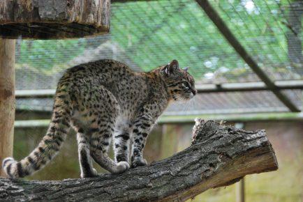 Кошка Жоффруа в неволе
