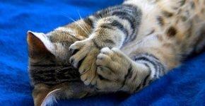Кот с полидактией