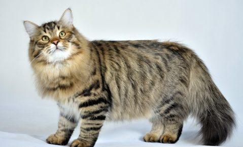 Сибирская кошка стоит