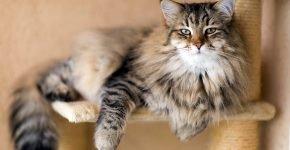 Сибирская кошка на лежанке