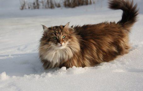 Норвежский кот в сугробе
