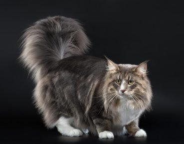 Пушистая норвежская кошка