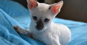 Корниш-рекс котёнок