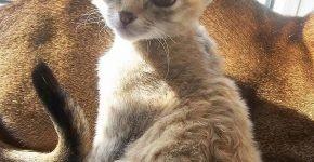 Герман-рекс котёнок