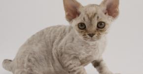 Девон-рекс котёнок