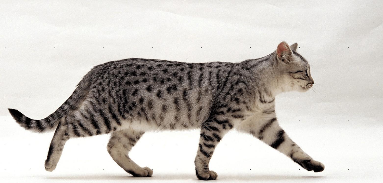 идущий кот вид с боку картинки феху связана понятиями