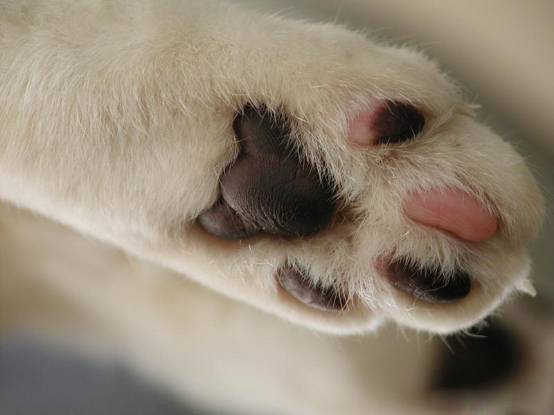 Сколько пальцев на лапках у кота норма и исключения