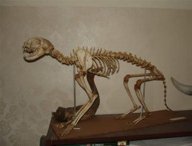 Скелет кошки-брахицефала