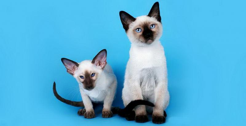 Отличия сиамского кота от тайского