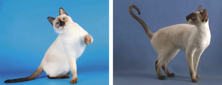 Кошки тайская и сиамская