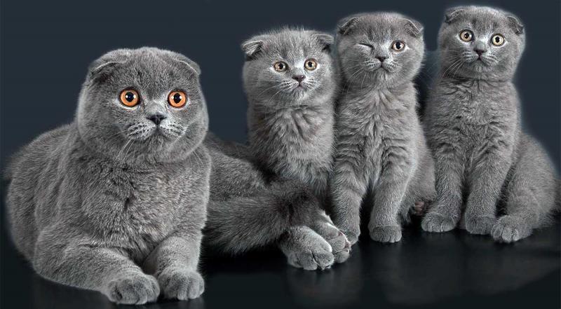 Клички для кошек шотландских