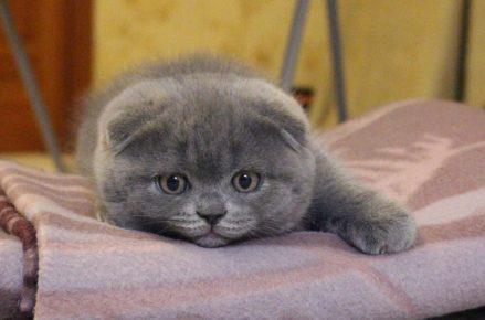 Котёнок-шотландец