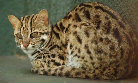 Азиатский леопардовый кот