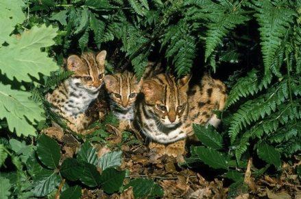 Кошка Prionailurus bengalensis с двумя котятами