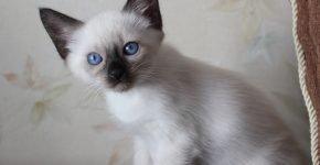 Тайский котёнок сил-пойнт