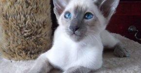Сиамская кошечка с окрасом блю-пойнт