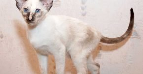 Сиамский котёнок окраса торти