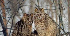 дальневосточный амурский лесной кот