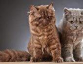 Кошки породы лаперм