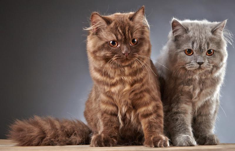 Особенности внешности характера и содержания кошек породы лаперм