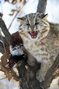 Дальневосточный амурский лесной кот в природе