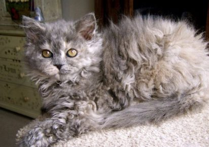 Котёнок ла-перм на комоде