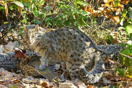 Дальневосточный амурский кот с добычей