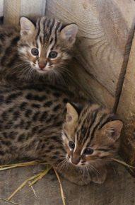 Котята дальневосточного лесного кота