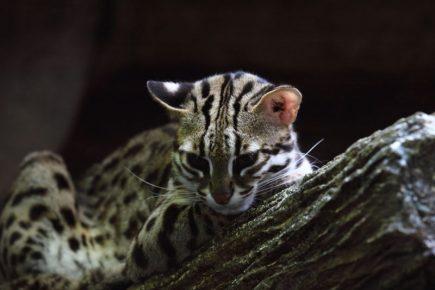 Кот Prionailurus bengalensis на дереве