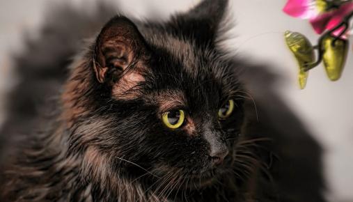 Шантильи-тиффани с жёлтыми глазами